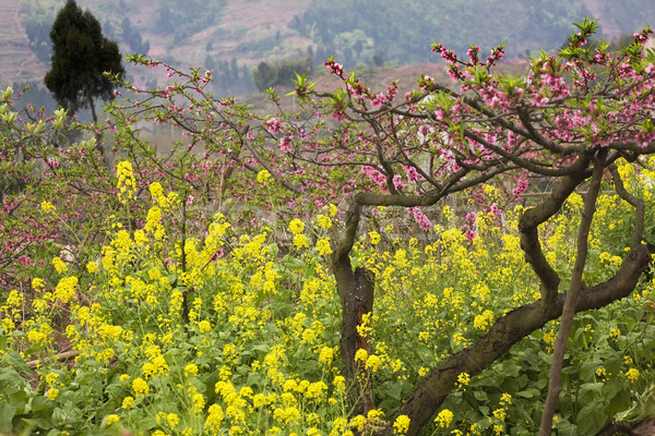 Pink Peach Yellow Canola Blossoms Sichuan China Stock photo © billperry