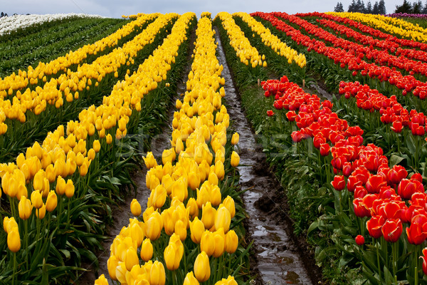 Red Yellow Tulip Hills Flowers Skagit Valley Washington State Stock photo © billperry