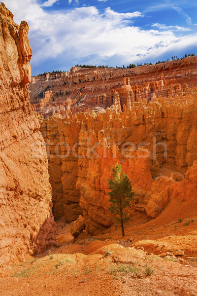 Hoodoos Tree Bryce Point Bryce Canyon National Park Utah  Stock photo © billperry