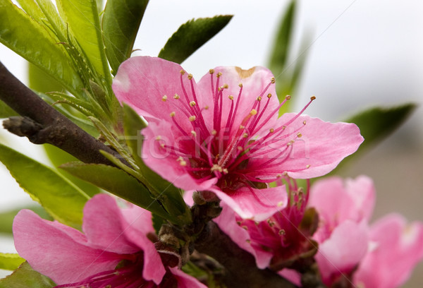 Pink Peach Blossom Macro Close Up Sichuan China Stock photo © billperry