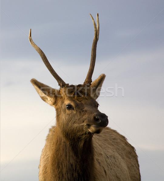 Fiatal férfi közelkép bölény terjedelem Montana Stock fotó © billperry