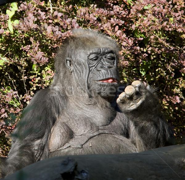 Western Lowland Gorilla Ape Looking At Fingers Stock photo © billperry