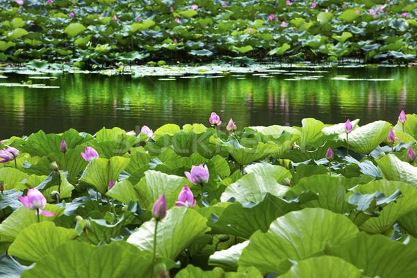 Lótusz kert tükröződés nyár palota Peking Stock fotó © billperry