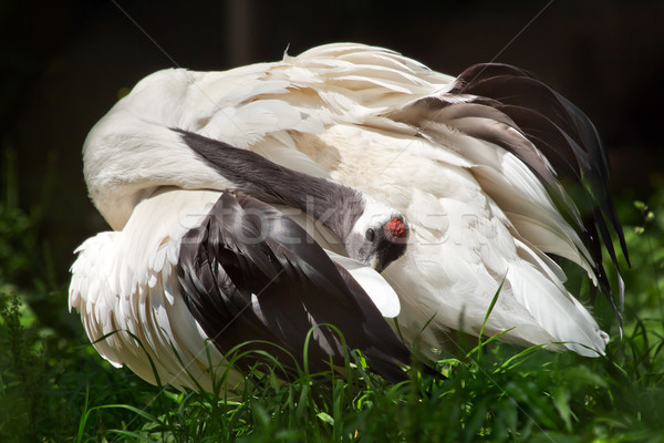 Red Crowned Crane Pruning White Feathers Grus Japonensis Stock photo © billperry