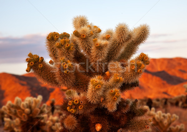 Cholla Cactus Garden Mojave Desert Joshua Tree National Park Cal Stock photo © billperry