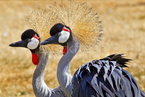 Southern Crowned Cranes Stock photo © billperry