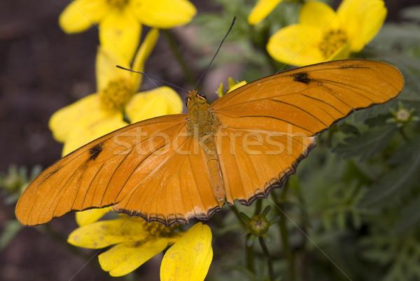 Bright Orange Julia Moth on Yellow Flowers Stock photo © billperry