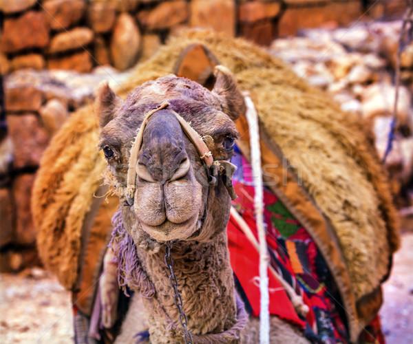 Wielbłąda skarbiec Jordania patrząc jeden Zdjęcia stock © billperry