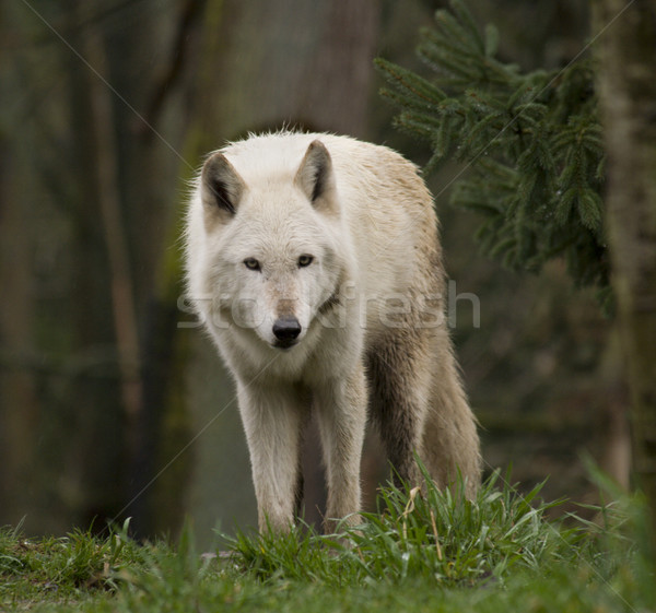 White Wolf Staring At the Crowd Stock photo © billperry