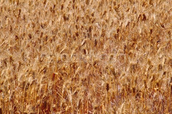 Ripe Wheat Field Palouse Washington State Stock photo © billperry