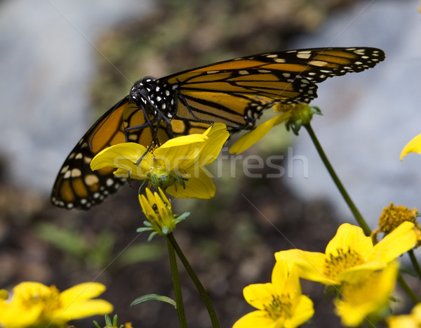 Monarch Butterfly Feasting on Yellow Flower Stock photo © billperry