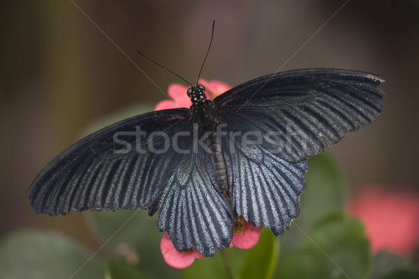 Papilio Rumanzovia Black White Butterfly on Pink Flower Stock photo © billperry