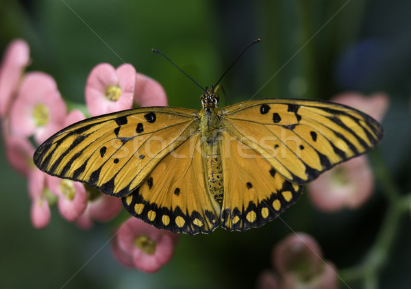 Orange and Black Brush Footed Butterfly Stock photo © billperry