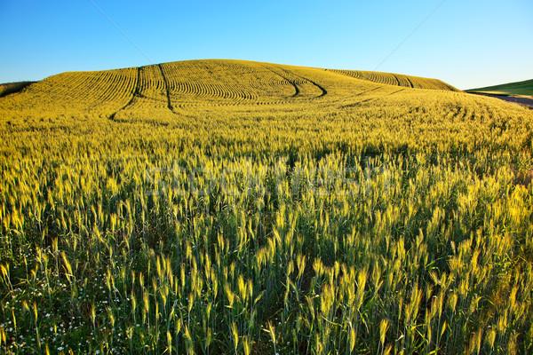Green Wheat Grass Patterns Blue Skies Palouse Washington State Stock photo © billperry