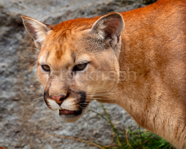Mountain Lion Closeup Head Cougar Kitten Puma Concolor Stock photo © billperry