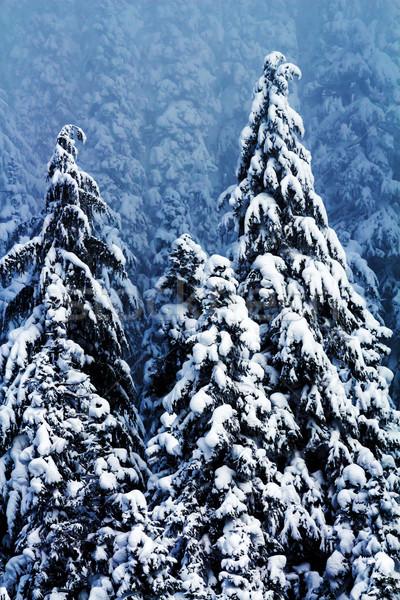 Hó fedett örökzöld fák absztrakt passz Stock fotó © billperry