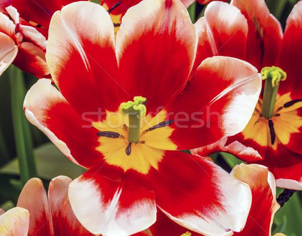 Piros fehér tulipán Hollandia zöld levelek mezők Stock fotó © billperry