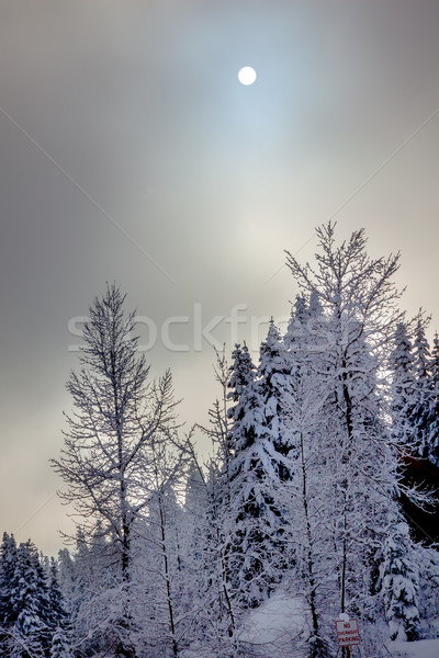 Güneş sis kar kapalı yaprak dökmeyen ağaçlar Stok fotoğraf © billperry