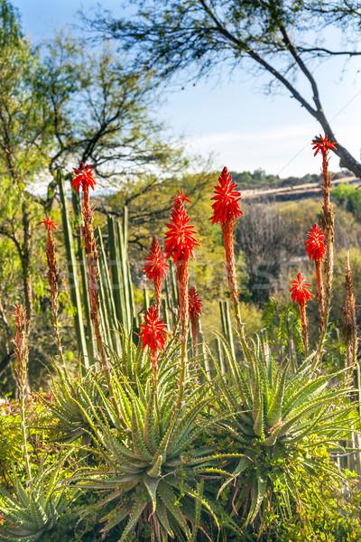 оранжевый алоэ кактус пейзаж Мексика цветы Сток-фото © billperry