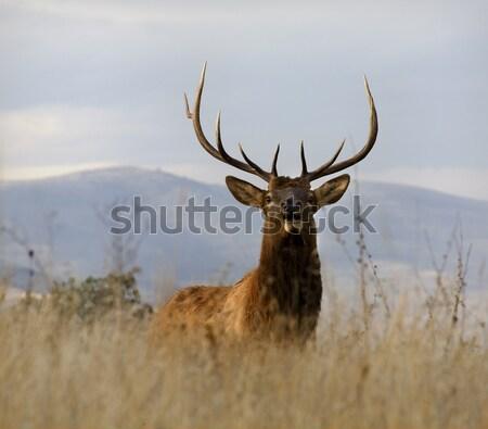Older Male Elk With Large Rack National Bison Range Charlo Monta Stock photo © billperry