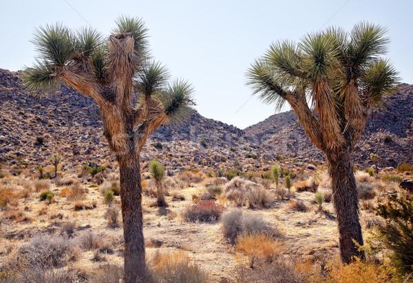 Trees Yucca  Brevifolia Mojave Desert Joshua Tree National Park  Stock photo © billperry