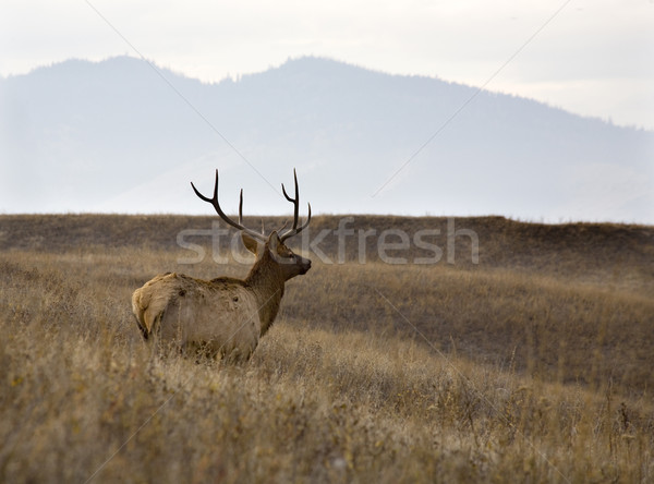 Male Elk With Rack of Horns in Meadow National Bison Range Charl Stock photo © billperry