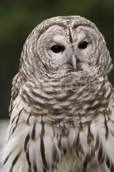 Barred Owl Stock photo © billperry