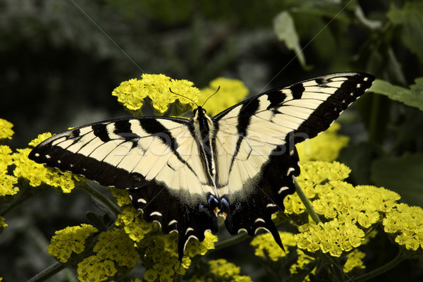 Black and White Zebra Swallowtail Butterfly on Yellow Flowers Stock photo © billperry