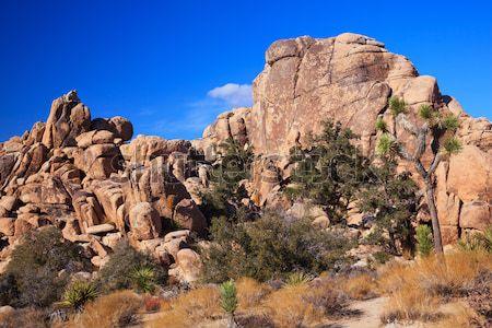 Rock Climb Yucca  Brevifolia Mojave Desert Joshua Tree National  Stock photo © billperry