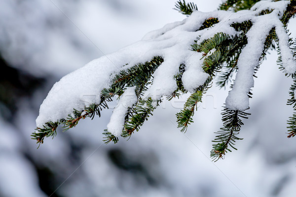 Snow Covered Evergreen Tree Branch at Snoqualme Pass Washington Stock photo © billperry