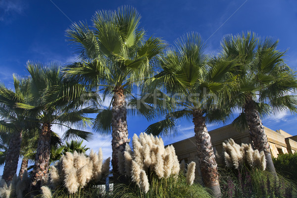 Palm Trees Pampas Grass Daroush Vineyard Napa California Stock photo © billperry