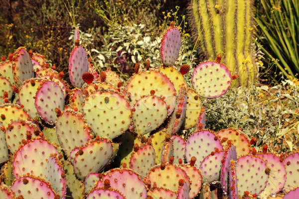 Purple Prickly Pear Cactus Opuntia Santa-Rita Desert Botanical G Stock photo © billperry
