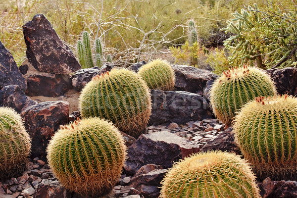 Golden Barrel Cactuses Desert Botanical Garden Phoenix Arizona Stock photo © billperry