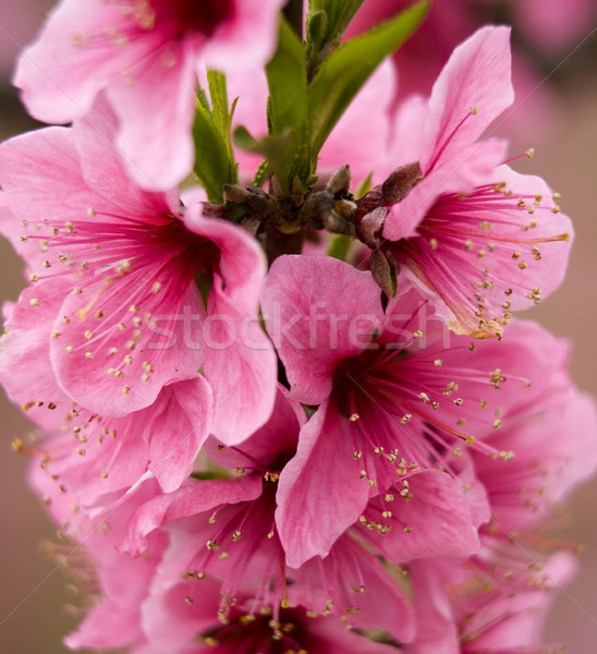 Pink Peach Blossoms Close Up Sichuan China Stock photo © billperry