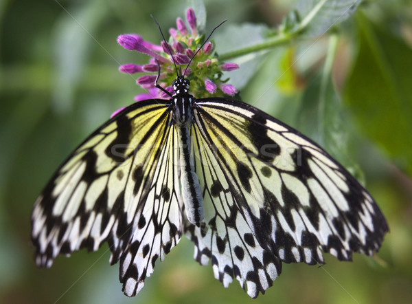 Black and White Rice Paper or Paper Kite Butterfly, Idea Leucono Stock photo © billperry