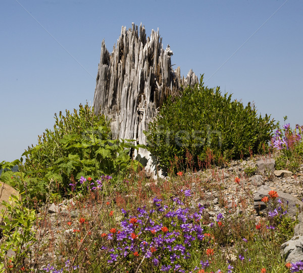 Red Blue Wildflowers Blast Stump Mount Saint Helens National Par Stock photo © billperry