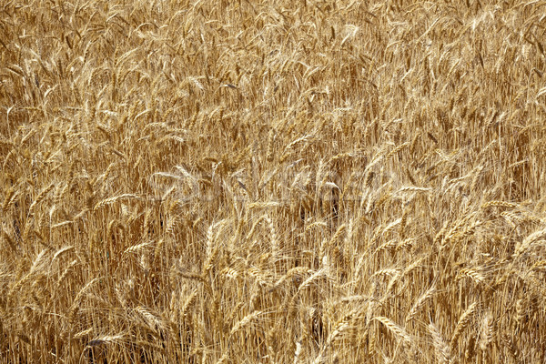 Ripe Wheat Field Palouse Washington State Stock photo © billperry