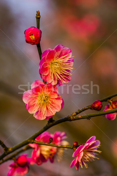 Ameixa flores ocidente lago China cidade Foto stock © billperry