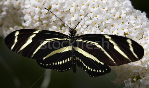 Zebra Longwing butterfly on white flower Stock photo © billperry