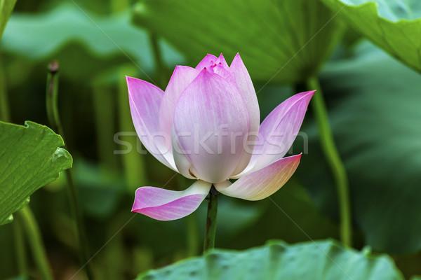 Pink Lotus Close Up Beijing China Stock photo © billperry