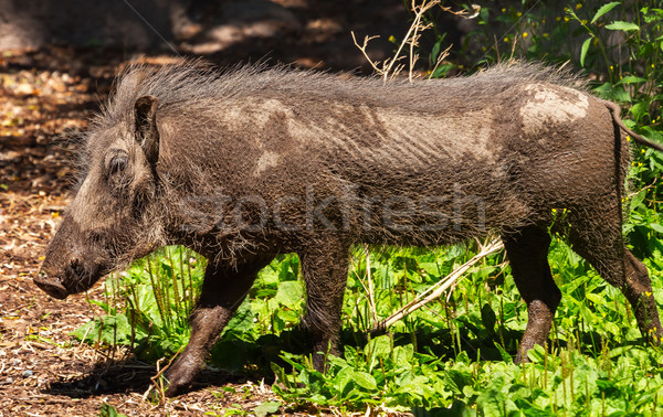 Female Warthog Phacochoerus africanus  Stock photo © billperry