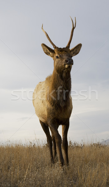 Young Male Elk with Horns Standing Close Up National Bison Range Stock photo © billperry