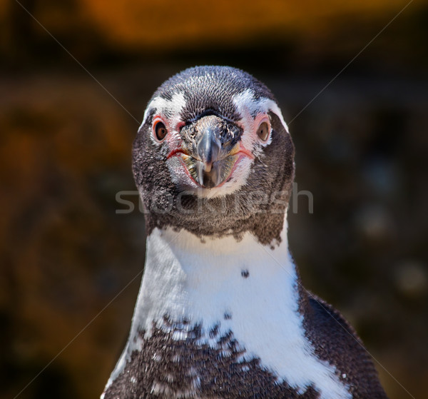 Humboldt Penguin Speniscus Humbolti Face Looking at You Stock photo © billperry