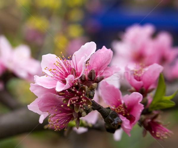 Pink Peach Blossom Macro Sichuan China Stock photo © billperry