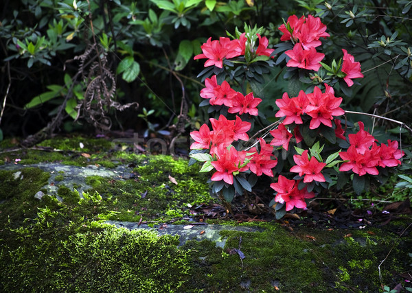 Pink Azalea Green Moss Temple Sichuan China Stock photo © billperry