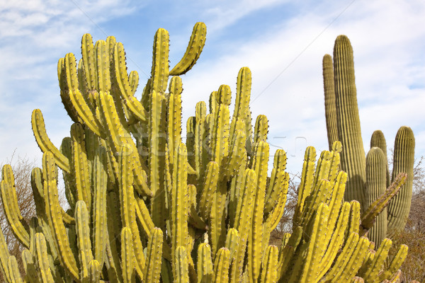 Organ Pipe Cactus Saguaro Desert Botanical Garden Phoenix Arizon Stock photo © billperry