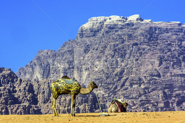 Stock photo: Yellow Sand Dune Camel Valley of Moon Wadi Rum Jordan