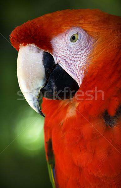 Kafa kırmızı tüyler beyaz gaga Stok fotoğraf © billperry