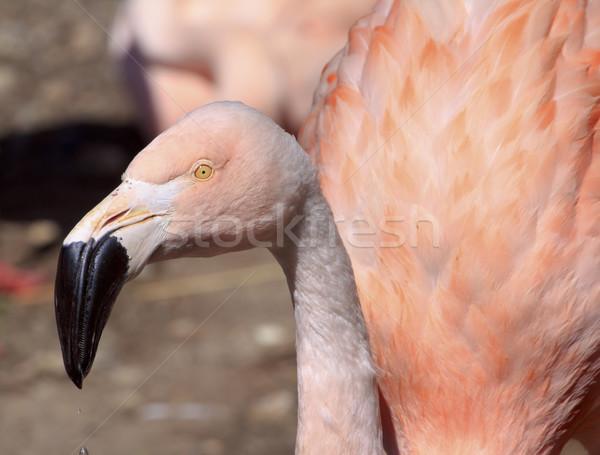 розовый фламинго черный клюв желтый Сток-фото © billperry