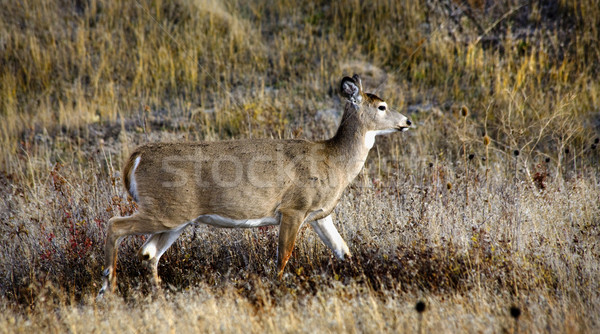 White Tail Deer National Bison Range Charlo Montana Stock photo © billperry